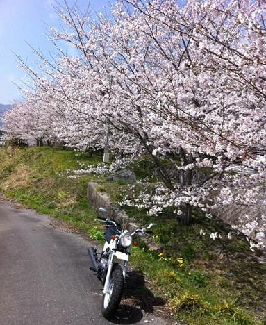 桜&バイクブログ.JPG
